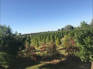 Rutherglen Christmas Trees Farm Stay - Accommodation Broome