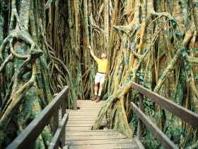 Curtain Fig Tree - Accommodation Broome
