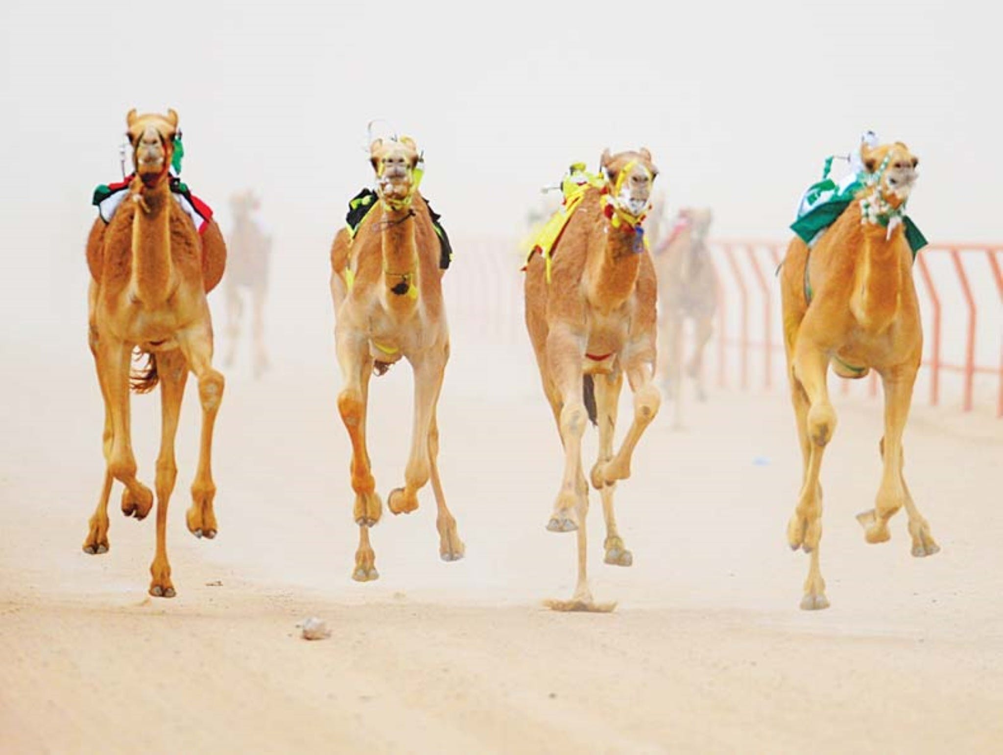 The Quirindi Camel Cup - Accommodation Broome